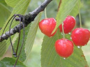 cherry1_sedang