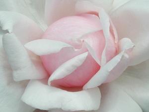 white_rose_center